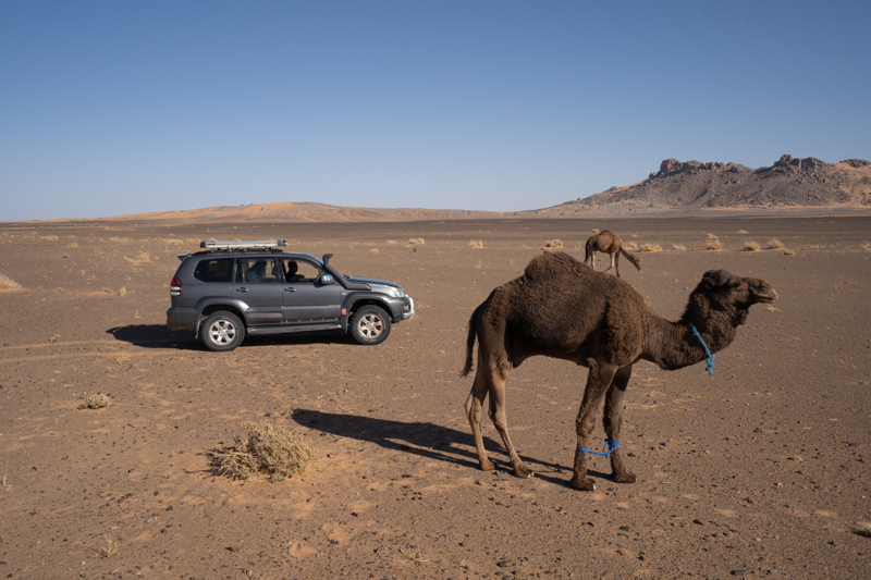 Camels and 4wd car in the arid Sahara rocky desert